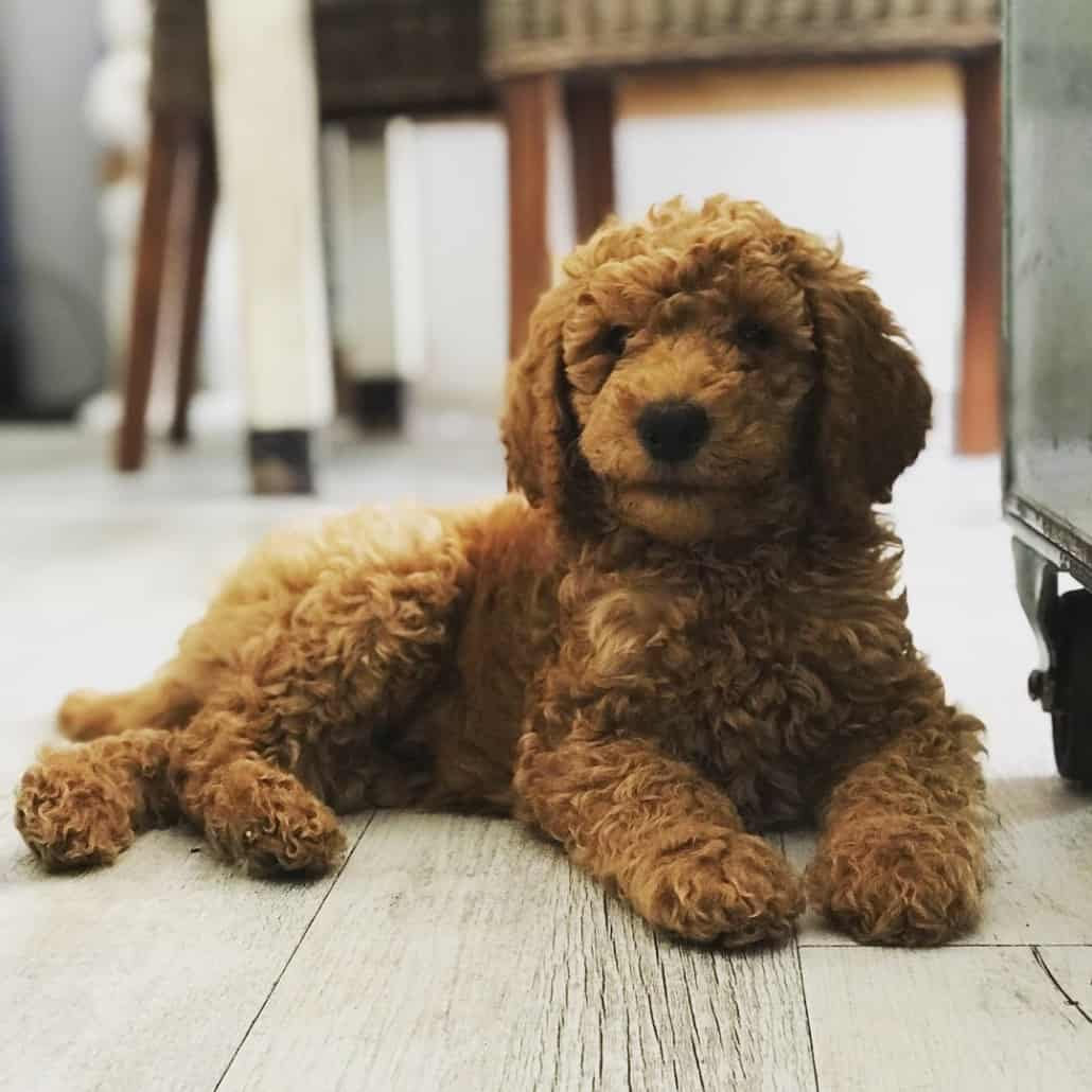 Apricot & Black Standard Poodles for ...poodledynasty.com